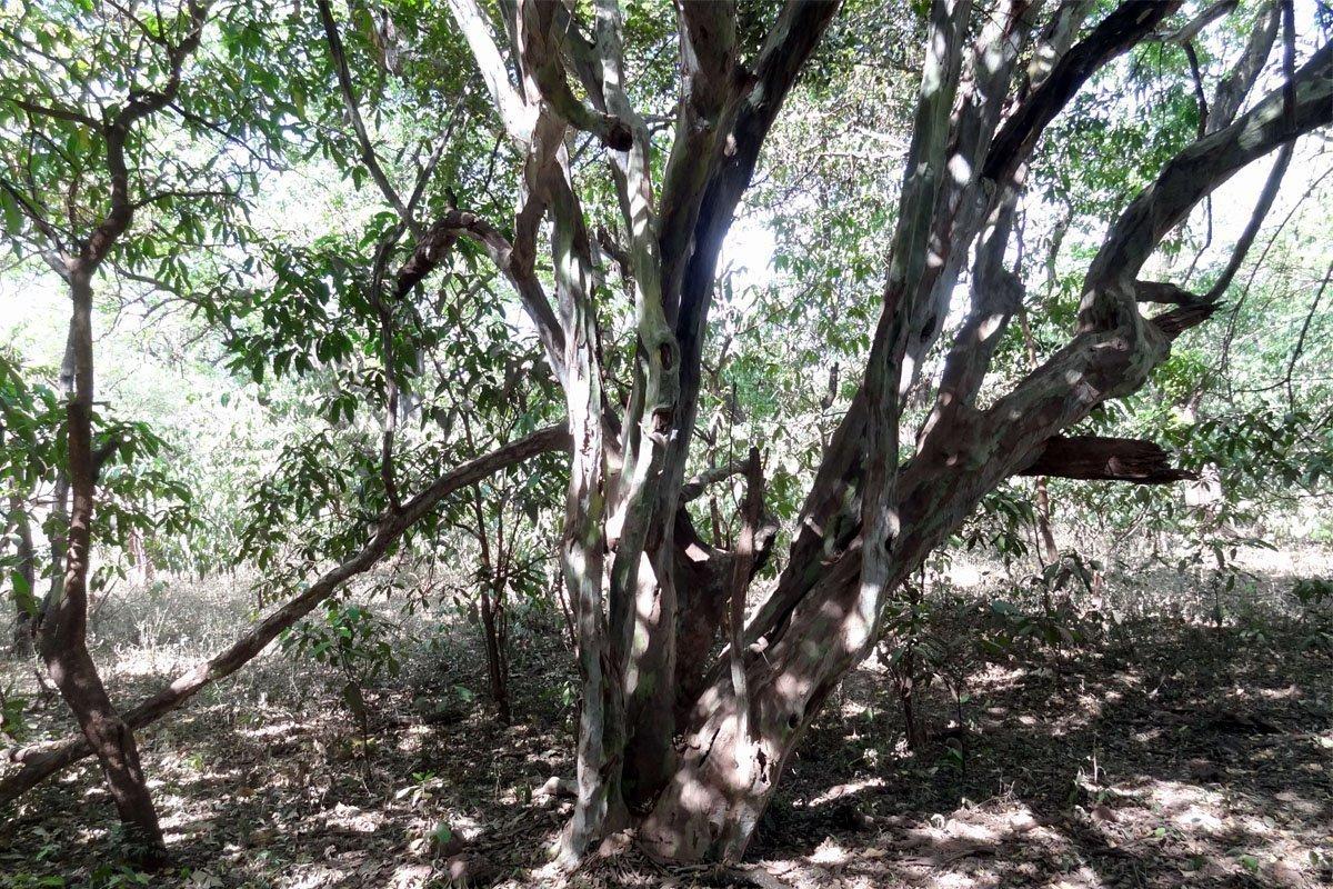Mpingo-tree