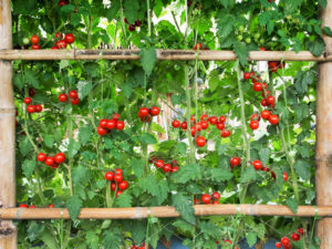grow tomatoes in your backyard